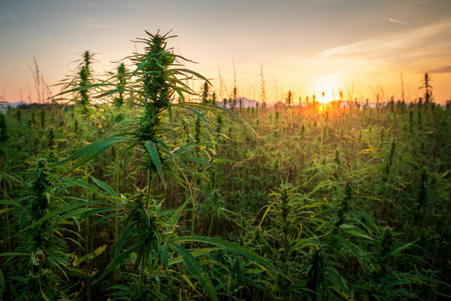Cannabis Plants In A Field At Sunset Arbor Vita8